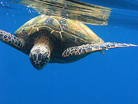 Giant green sea turtles explore the warm tropical waters of Hawaiian Island Kauai.