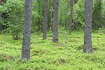 Pine Woodlands near Änättikoski rapids, Lentiira, Kuhmo, Finland, Vartius near Russian Border, Anattikoski