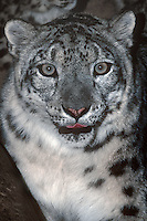 654403006 portrait of an adult snow leopard panthera uncia in its enclosure at a zoo - species is highly endangered in the wild - species is native to the high steppes of central asia