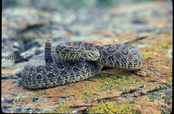 A Western Rattler Snake. (Crotalus viridis)