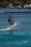 Atlantic Bottlenose dolphin performing at the Institute for Marine Sciences , Anthonys Key Resort , Roatan , Honduras