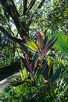 A colorful scene with red and pink ti leaves, palm leaf and a large koa tree along the pathway at Hawai'i Tropical Botanical Garden, Onomea (near Hilo), Big Island of Hawaiʻi.