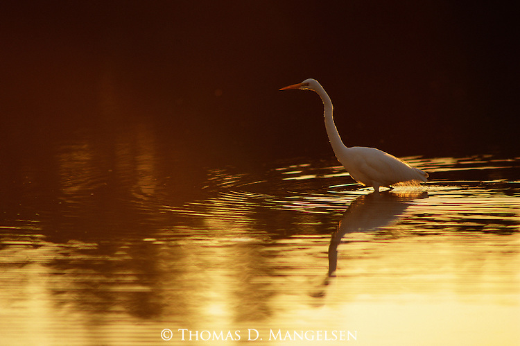 A great egret hunts for food in the shallow water near the gulf coast.
