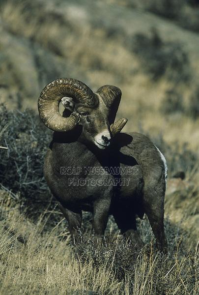 Bighorn Sheep, Mountain Sheep (Ovis canadensis), adult male, Rocky Mountain National Park, Colorado, USA