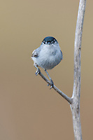 536360005 a wild male california gnatcatcher polioptila californica a federally threatened species perches on a dead twig in open space protected habitat los angeles county california