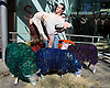 Multi-coloured sheep travelled from Suffolk to London to perform with dancers, Shaun Dillon and Kim Collins, in front of Sadler&rsquo;s Wells, London, Great Britain (SEE EMBARGO)<br /> 21st April 2015 <br /> <br /> THESE IMAGES ARE EMBARGO'D UNTIL 0001 HRS ON THURSDAY 23.04.15 <br /> <br /> Latitude is the UK's largest multi-arts festival, for the eighth year running Sadler&rsquo;s Wells will present a dance programme at the festival 16th &ndash; 19th July 2015 in Henham Park Suffolk. <br /> <br /> Dancers Names: Shaun Dillon and Kim Collins<br /> The Latitude Sheep were transported to London From Suffolk by Easton &amp; Otley Agricultural College. Easton &amp; Otley Agricultural College experienced livestock handlers who looked after the sheep during the photo call and the sheep were not harmed in any way. The sheep are returning to their home in Suffolk today and will be at the festival from 16th July.<br /> <br /> <br /> Photograph by Elliott Franks <br /> Image licensed to Elliott Franks Photography Services
