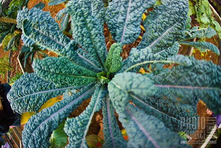 Close-up of kale in an organic garden in Kalihi