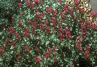 Salvia microphylla var. wislezenii red flowers