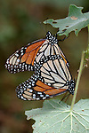 Monarch Butterfly, Danaus plexippus, El Chincua Nature Reserve, pair mating, migration, roosting site, lifecycle metamorphosis orange pattern wing.Mexico....