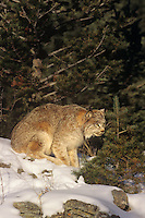 657146101 a captive canadian lynx felis lynx sits in a snowbank in central montana this species is endangered in the wild