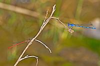 338290006 a wild male aztec dancer argia nahuana and a desert firetail telebasis salva perch on a twig  along empire creek las cienegas  natural conservation area pima county arizona united states..GPS: N 31.85278; W -110.67806