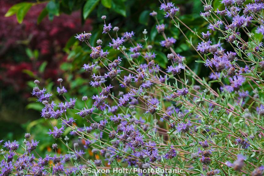 Holt 1060 photobotanic stock photography garden for Purple flower shrub california