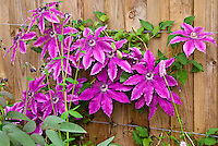 Cultural practical care of a climbing vine - set wires for perennial vine to grab onto. Clematis Barbara Dibley climbing vine with purple flowers against wooden fence tied up on wire trellis