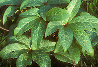 Helleborus x ballardiae leaves, hybrid between H. niger x H. lividus, formerly known as &quot;H. x nigriliv&quot; hellebore