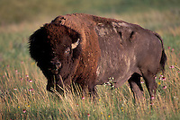 American Bison, (bos bison), Badlands National Park, South Dakota, USA