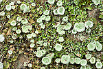 Lichen on stone wall, Sierra de Andujar Natural Park, Sierra Morena, Andalucia, Spain, indicator for clean air, no pollution