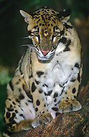 654344003 a captive clouded leopard neofelis nebulosa a wildlife rescue animal highly endangered in its central asian habitat rests on a large log