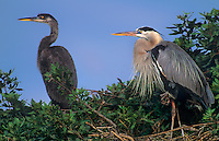 548107013 a wild adult and chick great blue heron ardea herodius pose at their nest in a large tree on ding darling national wildlife refuge in florida