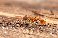 An Acorn Ant (Temnothorax curvispinosus) worker explores the surface of a fallen dead tree.