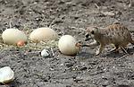 Foto: VidiPhoto<br /> <br /> RHENEN - De combinatie Pasen en struisvogeleieren is niet echt voor de hand liggend. In Ouwehands Dierenpark in Rhenen kregen de stokstaartjes en wrattenzwijnen donderdag echter vier enorme eieren voor hun kiezen. Zowel de wrattenzwijnen als de veel kleinere stokstaartjes hadden nog niet eerder in hun leven struisvogeleieren als voedsel gehad. De reuzeneieren zijn afkomstig van de struisvogels in het park, die voor het eerst eieren hebben gelegd. Omdat het gaat om onbevruchte eieren, kunnen ze alleen maar dienen als voedsel. De wrattenzwijnen en stokstaartjes waren donderdag de gelukkigen. Ze mochten hun buik vol eten aan de 1,5 kilo zware eieren, waarvan er twee rauw en twee gekookt werden aangeboden. E&eacute;n struisvogelei heeft dezelfde inhoud als 30 kippeneieren.