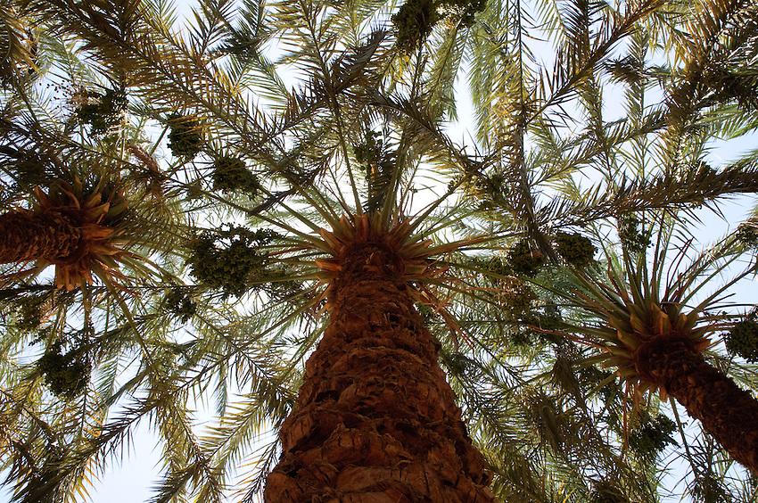 Palm trees in Bahariya Oasis