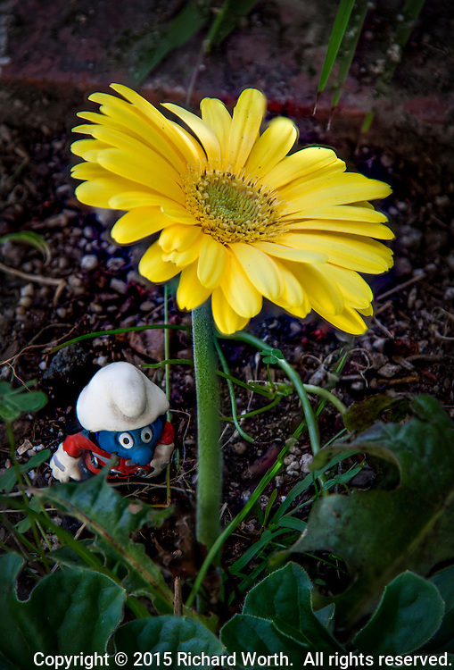 A bright yellow daisy stands over a toy fire fighter smurf figure.