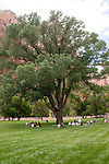 USA Utah, Zion National Park. Immense cottonwood tree at The Lodge, only lodging in park.
