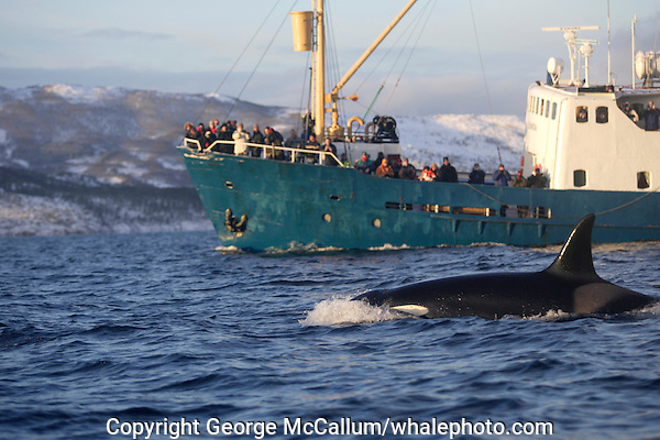 Killer whale Orcinus Orca surfacing near whale watching ship. Tysfjord, Arctic Norway