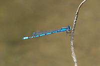 320240021 a wild male familiar bluet enellagma civile perches on a dead twig over the lake at parker canyon lake cochise county arizona