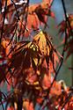 Acer palmatum 'Beni Kagami', late April.