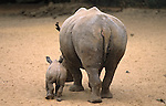 White rhino, Ceratotherium simum, with calf rear view, Mkhuze game reserve, Kwazulu Natal, South Africa