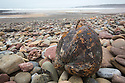 Coconut washed up shingle beach during storms, Pembrokeshire, Wales, UK. January.