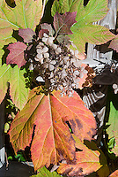 Hydrangea quercifolia in fall foliage and faded flowers autumn color, Oakleaf Hydrangea
