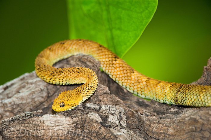 489000011 a captive golden yellow variable bush viper atheris squamigera sits coilded on a limb species is native to cameroon in west central africa