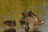 559500021 common gallinules gallinula galeata or common moorhens gallinula chloropus wild texas.Adult Feeding Chick.Anahuac National Wildlife Refuge, Texas