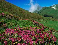 Hairy Alpine Rose, Rhododendron hirsutum, blooming, Ritom, Tessin, Switzerland, Europe
