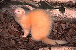 Ferret (Mustela putorius) - Blean Woods, Kent, captive  .white.United Kingdom....