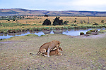 Lion & Lioness Fornicating