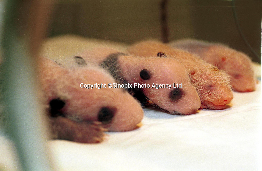 Pandas Bing Xin and Bing Dien (both with black stripes) and Cheng Gong and Cheng Ji rest in an incubator after a brief examination.  The pairs of panda twins have a rentable value of a million US$/year..