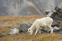 Dall sheep in Atigun pass, Brooks range mountains, Alaska.