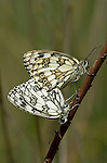 Marbled White butterfly, Melanargia galathea, pair mating, side view of wings, showing black and white colours patttern, Provence.France....