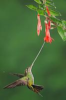 Sword-billed Hummingbird (Ensifera ensifera), female feeding from fuchsia flower,Papallacta, Ecuador, Andes, South America