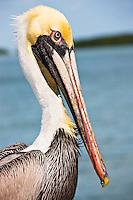 Brown Pelican, Islamorada, Florida Keys, USA
