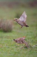 572110177 two wild male lesser prairie chicken tympanuchus pallidicinctus engage in breeding displays and threat challenges on a lek on a ranch near canadian texas united states