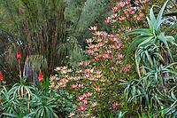 Leucadendron 'Safari Sunset' conebush flowering in San Francisco Botanical Garden