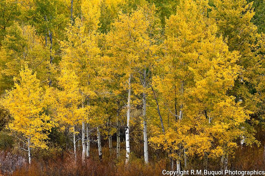 Fall Aspen Trees, Grand Teton National Park