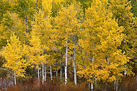 Fall Aspen Trees, Grand Teton National Park