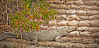 American Crocodile lying on rocks at the dock in Flamingo, Florida