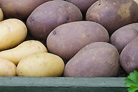 Potato varieties 'Blue Kestrel and a yellow type
