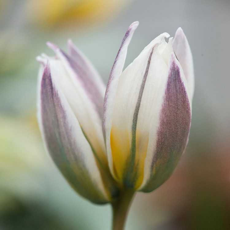 Tulipa orithyioides, glasshouse, early March.